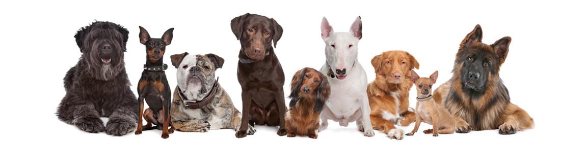 Categoria: Cani